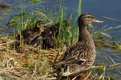 Brown duck and small ducklings on the shore in the grass near the water. Brown duck and small ducklings on the shore in the green grass near the water of the Stock Images