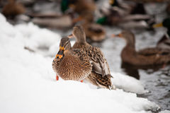 Brown duck on snow Royalty Free Stock Images