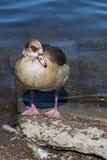 Brown Duck Standing auf Teich-Rand Lizenzfreies Stockfoto