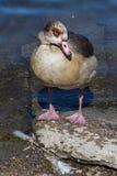 Brown Duck Standing sul bordo dello stagno immagine stock