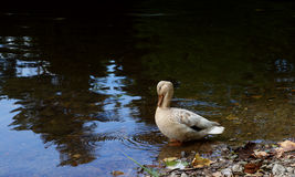 Brown duck standing in the water. Lonely brown duck standing in the water Stock Images