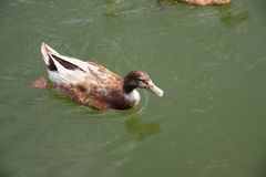 Brown duck swimming in the lake. A brown duck swimming in the lake Stock Photos