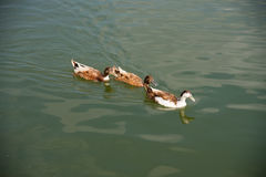 Brown duck swimming in the lake. Brown ducks swimming in the lake together Royalty Free Stock Photo