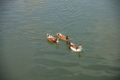 Brown duck swimming in the lake. Brown ducks swimming in the lake together Stock Photo