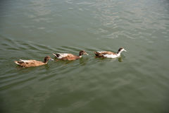 Brown duck swimming in the lake. Brown ducks swimming in the lake together Royalty Free Stock Photography