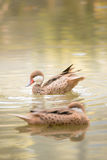 Brown duck swimming in water. Two brown duck swimming in water Stock Photos