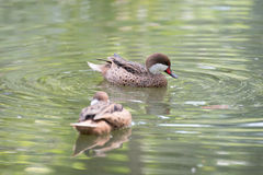 Brown duck swimming in water. Two brown duck swimming in water Royalty Free Stock Images