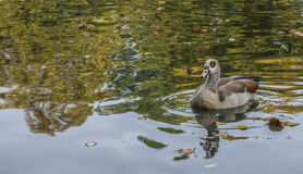 A brown duck. Royalty Free Stock Images