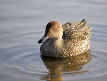 Brown Duck waddling on a lake. Brown Duck waddling on a peaceful still lake in Hokkaido Japan Stock Image