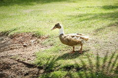 Brown duck waking in the meadow Royalty Free Stock Photography