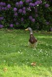 Mallard duck. A brown duck walking on the grass Stock Photography
