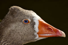 Brown duck whit blue eye Stock Images