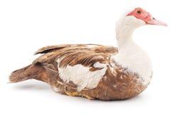 Brown duck. Stock Photo