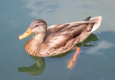 Free Brown Duck With Yellow Beak Swimming In A Pond Stock Images - 158537734