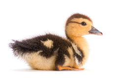 Brown duckling Stock Photos