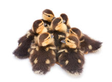 Brown duckling Royalty Free Stock Photos