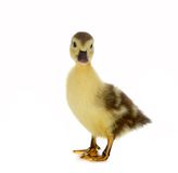 Brown duckling Stock Image