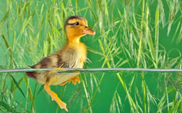 The brown duckling swimming Stock Images