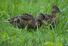 Brown ducklings Royalty Free Stock Images
