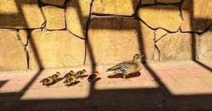 Brown ducklings following mommy paw royalty free stock images