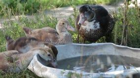 Brown ducks a água potável de uma bacia de aço (ascendentes próximos) vídeos de arquivo