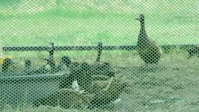 Brown ducks in cages made of wire mesh eating food on grass.  stock footage