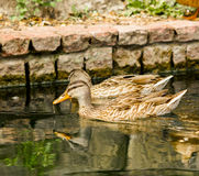 Brown ducks floating on calm water Royalty Free Stock Images
