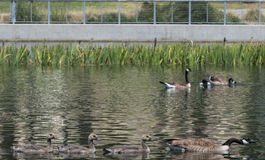 Brown ducks. Swimming in lake Royalty Free Stock Photography