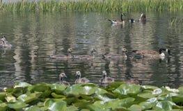 Brown ducks. Swimming in lake Royalty Free Stock Photos