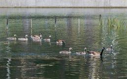 Brown ducks. Swimming in lake Stock Photography