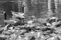Brown ducks. Swimming in lake stock image