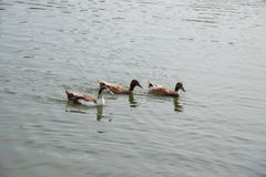 Brown ducks swimming in the lake. Together Royalty Free Stock Photos