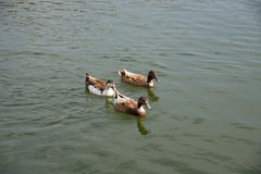 Brown ducks swimming in the lake. Together Royalty Free Stock Photography
