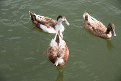 Brown ducks swimming in the lake. Together Royalty Free Stock Image
