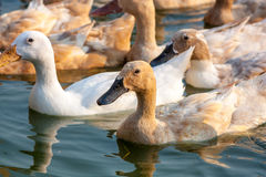 Brown ducks and white duck in farm Stock Photos
