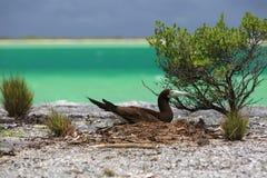 Brown-Dummkopf-Vogel Lizenzfreie Stockbilder