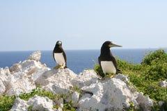 Brown-Dummkopf-Vogel-tropische Kaiman Brac-Insel Lizenzfreie Stockfotografie