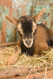 Brown dwarf baby goat Stock Image