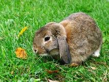 Brown Dwarf Bunny Stock Photos