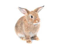 Brown dziecka królik Fotografia Royalty Free