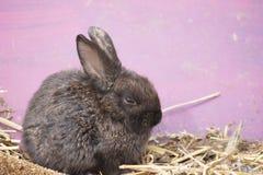 Brown dziecka królika obsiadanie na słomie Fotografia Royalty Free