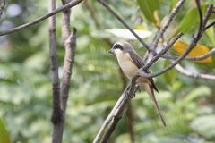 Brown dzierzba &-x28; luciolensis&-x29; fotografia royalty free