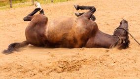 Brown dzikiego konia lying on the beach na piasku Obrazy Royalty Free