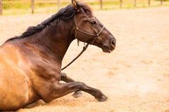 Brown dzikiego konia lying on the beach na piasku Zdjęcie Stock