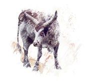Brown e acquerello bianco del manzo della mucca texana Fotografie Stock