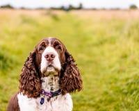 Brown e cão branco do spaniel de Springer inglês Imagem de Stock
