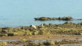 Brown e cão branco que correm ao longo de uma costa rochosa video estoque