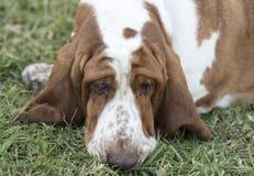 Brown e cão manchado branco de Basset Hound Imagens de Stock