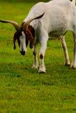 Brown e capra domestica bianco immagine stock libera da diritti
