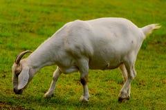Brown e capra domestica bianco fotografia stock libera da diritti